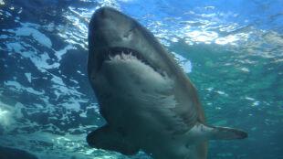 Atak rekina w USA. Mężczyzna doznał kilku głębokich ran