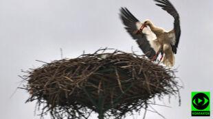 Bociany powróciły i naprawiają swoje gniazda