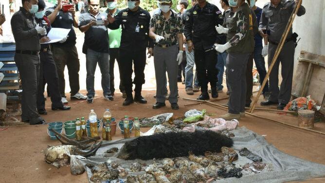 Zamrożone zwłoki 40 tygrysiątek <br />odnalezione w buddyjskiej świątyni