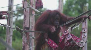 Orangutanica urodziła, mimo że test nie wskazywał, że jest w ciąży